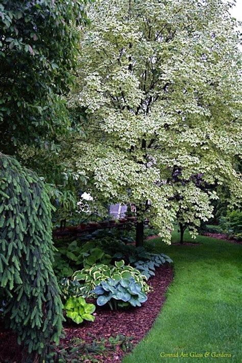 maple tree evergreen the variegated maple really brightens up this corner don t you think the garden gate