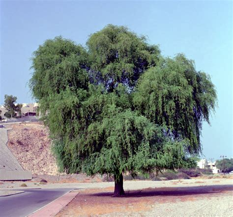 tree of ghaf tree all about plant