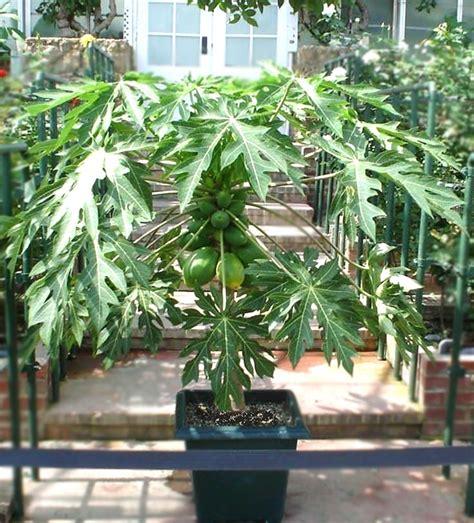 how to pot a tree how to grow papaya growing papaya tree and care