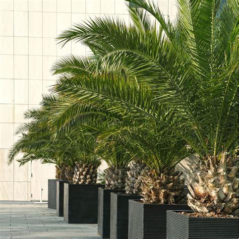 palmier canariensis plantes et jardins