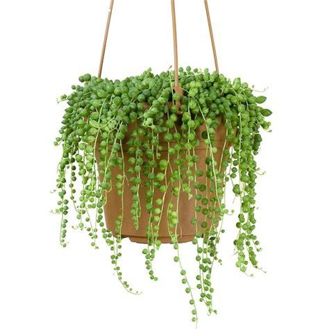 Bead Plant Senecio Rowleyanus String Of Pearls 2 5 Quot Pot