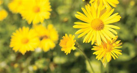yellow garden flower 33 types of yellow flowers proflowers
