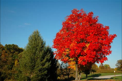maple tree all year autumn blaze maple growth rate