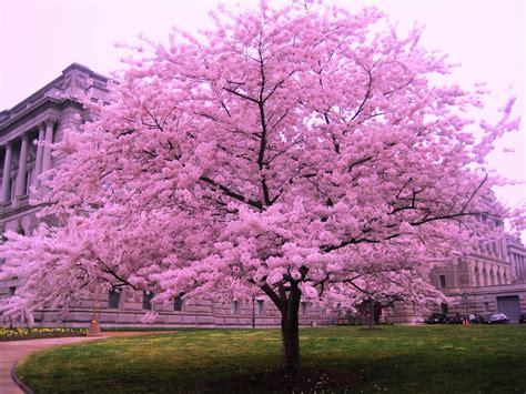 cherry tree vs cherry blossom tree cherry blossom trees dreams meaning interpretation and meaning