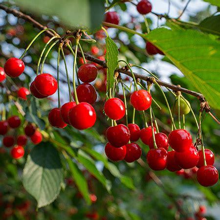 cherry tree wisnie w czekoladzie cherry tree for sale fast growing trees