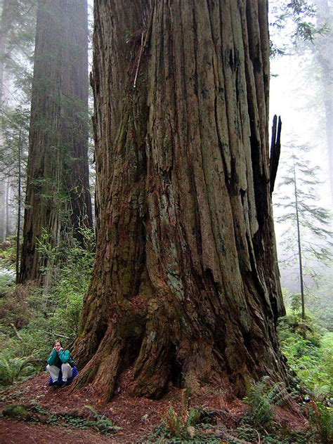 tallest tree in the world where is the tallest tree in the world other voice review