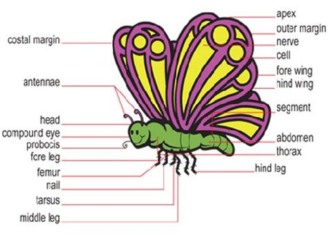 of a butterfly robinage science technology parts of a butterfly