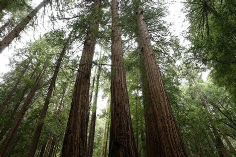 tallest tree in the world tallest tree in the world 2014 www pixshark images