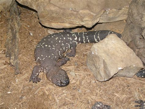 beaded lizard the zoo beaded lizard