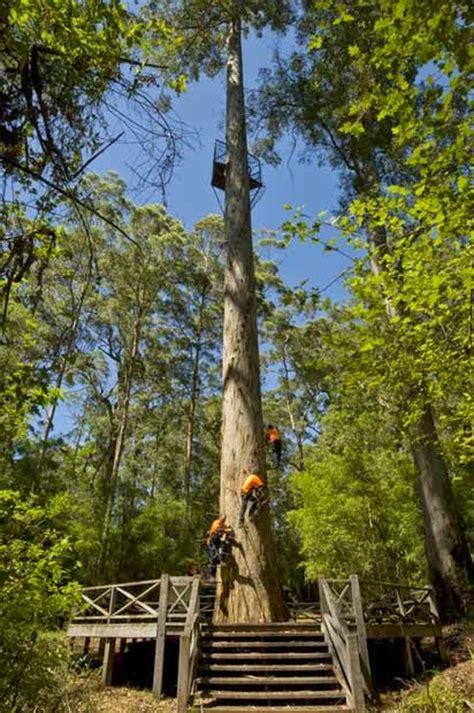 tallest tree in the world world s tallest tree hyperion karamat adeel