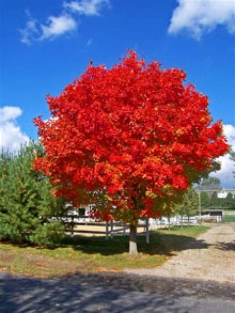 maple tree all year october maple great plants b 228 ume und oktober
