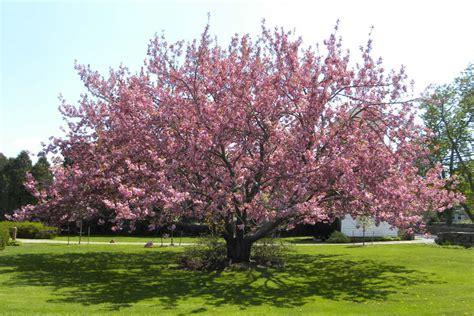 cherry trees studio may 2011