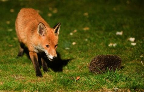 one fox are you a hedgehog or a fox rochemamabolo