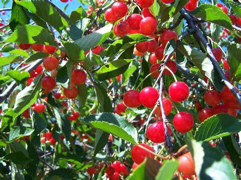 cherry tree wisnie w czekoladzie cherry tree kt did clay s
