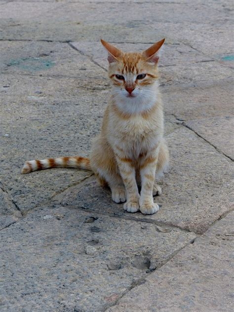 alley cat free photo alley cat strays free image on