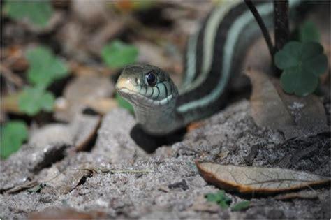 Garden Snake Florida Florida Garden Snake Redgage