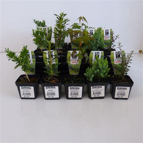 bunnings trees 60mm bonsai starter punnet bunnings warehouse