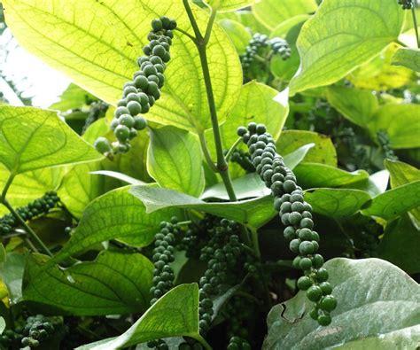black mini tree how to grow black pepper plant growing peppercorn
