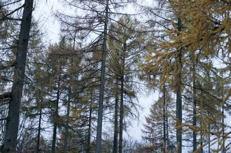 thin trees uk free image of thin evergreen trees in deciduous forest