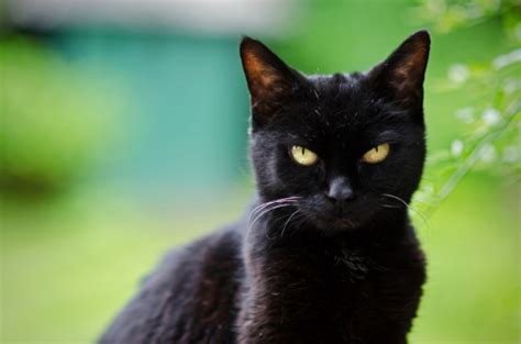 cat black the mysterious black cat the valley patriot