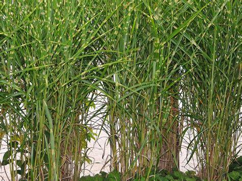 ziergras immergrün winterhart ziergr 228 ser das ziergras