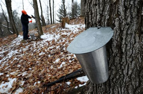 could maple syrup plantations be a way of the future the