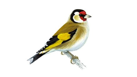 the rspb goldfinch