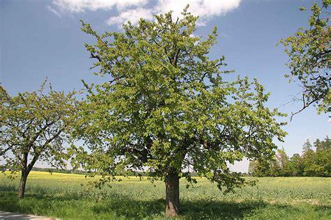 soubor prunus avium jpg wikipedie