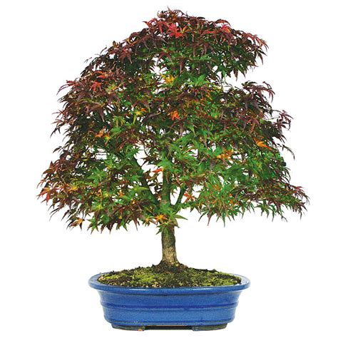 japanese maple bonsai care