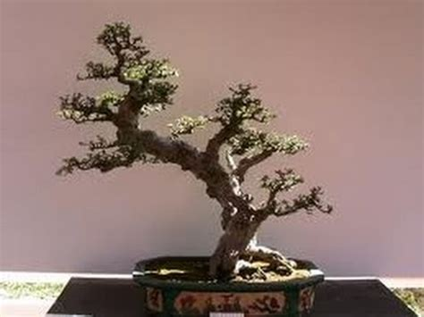 a cherry tree bonsai bonsai cherry tree