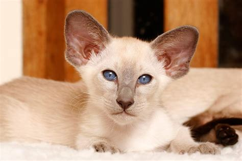 of cat your cat siamese cat breed profile cat breed profiles