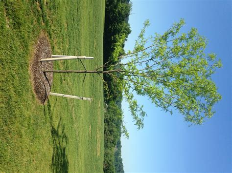 how to properly stake a tree tomlinson bomberger