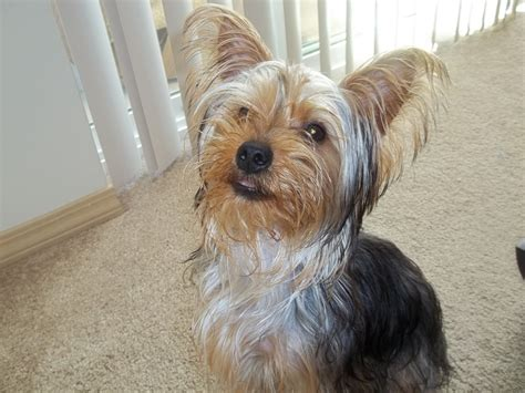 how to cut yorkie hair at home dog morkie hair cuts hairstyle gallery