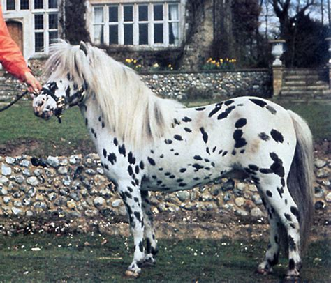 how many pony in a pound falabella info origin history pictures