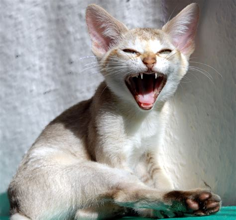 images cats singapura cat breed info history personality kittens