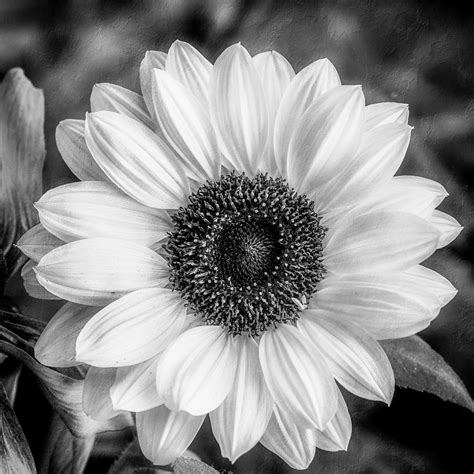Posters Home Decor by Black And White Sunflower Photograph By Anita Miller