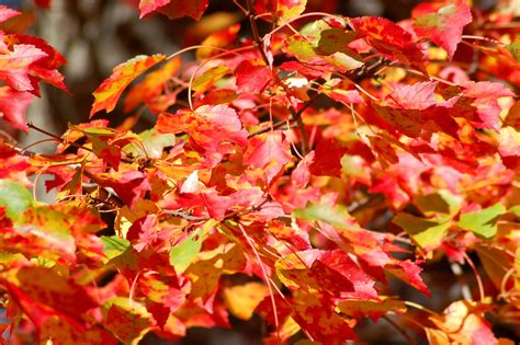 tree color in best maple trees for fall color