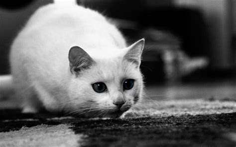 Cat Wallpaper by Munchkin Cat Wallpapers Hd