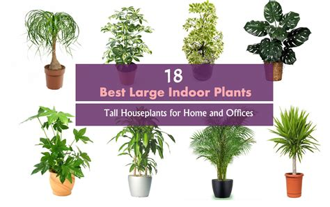 18 best large indoor plants houseplants for home