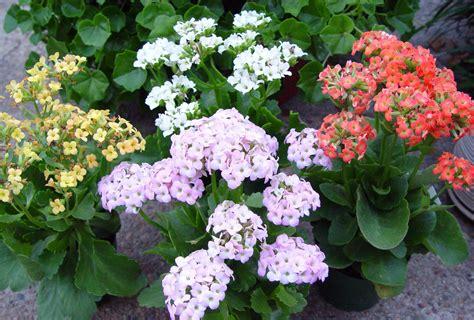 low light indoor flowers low light flowering plants best indoor flowering plants