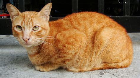 orange cat file kucing belang jingga orange mackerel tabby cat jpg