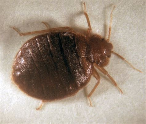 bead bugs what do bed bugs look like what does it look like