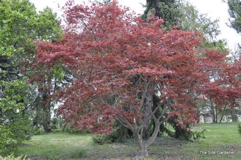 maple tree clay soil acer palmatum chikushigata the site gardener