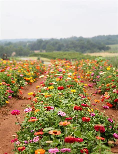 zinnia flower garden 25 best zinnias ideas on