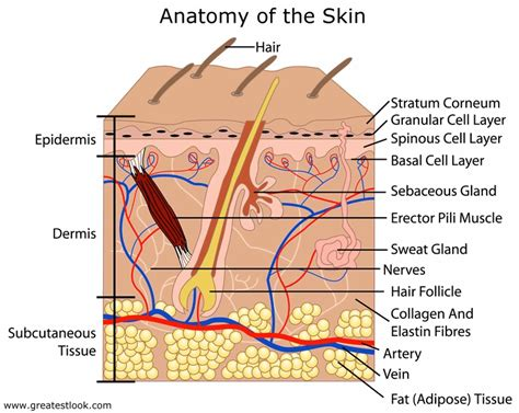 anatomy of the skin the strength and flexibility of your