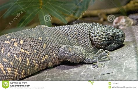 mexican beaded lizard care mexican beaded lizard 2 stock image image of tropical