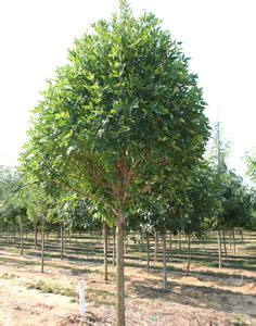 maple tree clay soil and yet it s because the tree is divided into so many branches that sometimes the image of the