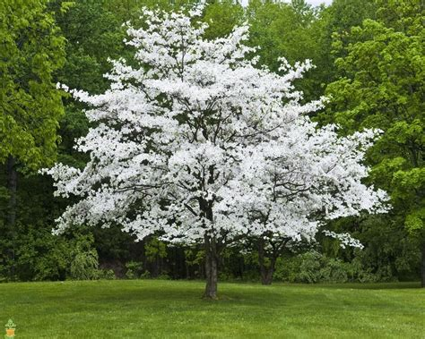 best tree images white flowering dogwood tree on sale the planting tree