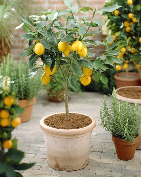 myer trees how to safely transition meyer lemon trees outdoors fast