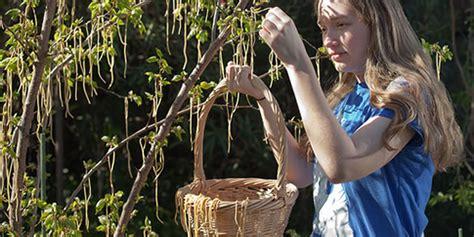 swiss tree delectable spaghetti trees of switzerland